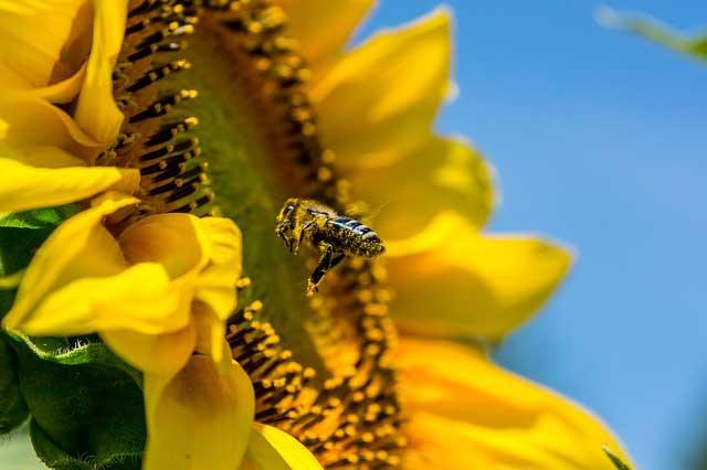 Abeille butinant un tournesol - La communication des plantes
