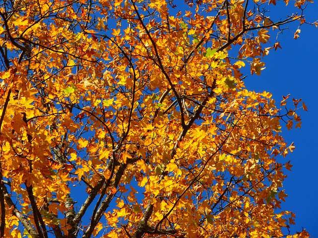 Arbre en automne avec ses feuilles dorées