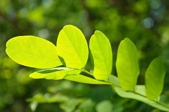 Des feuilles d'acacia jolies mais une plante dangereuse !