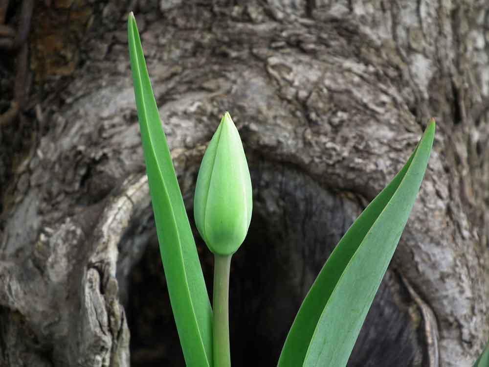 Tulipe en pleine croissance se tenant droite grâce à la lignine